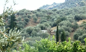 olivenfeld